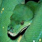 Yeşil Yılan Boğmak