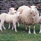Beyaz Koyun
