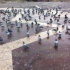 Güvercin Sürüsü