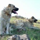 Köpek Sürüsü