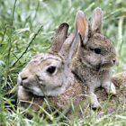 Ölü Tavşan