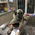 Yaralı Köpek